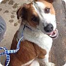 Irving, TX - Border Collie/Labrador Retriever Mix. Meet Roscoe, a for adoption…