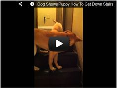 Dog shows Puppy how to get down stairs! Watch here:  http://awesomeanimals001.blogspot.co.il/2013/01/dog-shows-puppy-how-to-get-down-stairs.html