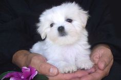 Teacup Maltese Puppy .