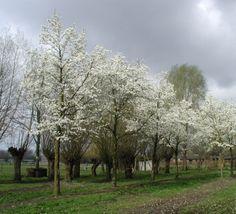 Magnolia kobus #flowering #tree #trees www.vdberk.co.uk