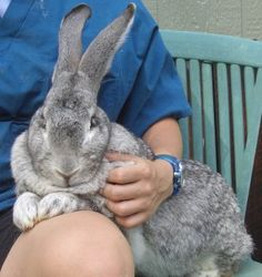 Flemish Giant Rabbit,I had one just like this when I was a kid   BUN BUN