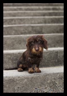 Neele by Ludwig Dingeldein  Mini Chocolate Wirehaired -so cute
