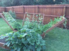 Vertical watermelon growing