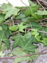 Ivy, wedding - green