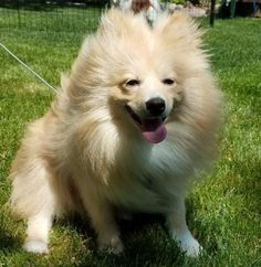 Pomeranian dog for Adoption in Brooklyn Park, MN. ADN-558645 on PuppyFinder.com Gender: Male. Age: Young