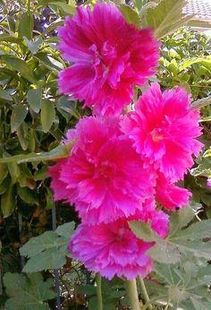 Deep Pink Hollyhocks