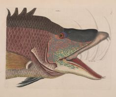 Natural History of Carolina, Florida, and the Bahamas