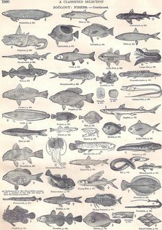 Vintage Zoology Fish Continued Drawings from di TinkersEphemera
