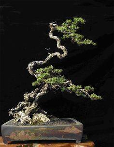 Geleerde stijl #bonsaitrees