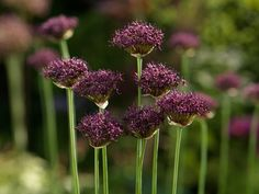 The darkest flowered of all these drumstick Alliums is A. atropurpureum from Southern Europe. It carries golf ball sized heads of dark, almost black, maroon-purple flowers from late October well into November. It's very easily grown and increases well as long as it is planted in a sunny well drained spot.