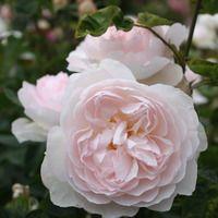 ber ideen zu gelbe rosen auf pinterest rosen pinke rosen und blumen. Black Bedroom Furniture Sets. Home Design Ideas