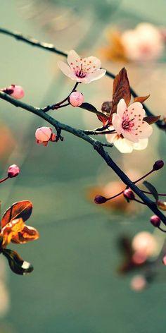 Na flowers sakura Beautiful Flowers Wallpapers, Beautiful Nature Wallpaper, Cute Wallpapers, Beautiful Landscapes, Flowers Nature, Exotic Flowers, Pretty Flowers, Bloom Blossom, Blossom Flower
