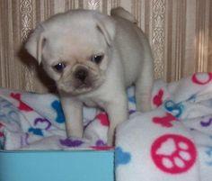 Cute White Pug Puppy