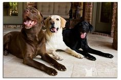 Labs ♥♥♥ I would love to have all three one day