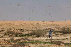 Migration of locusts in the Negev desert, Israel.  According to preliminary data, about one million birds flew out of Egypt, where the remains of more than 30 million.  Миграция саранчи в пустыне Негев, Израиль.