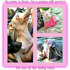 Sweet Rosie, the product of a puppy mill.. She is alive and well, but will have her difficulties... Just say NO to purchasing dogs at pet stores!!    #pets #care #puppy #dogs #puppymills #freedom #educate