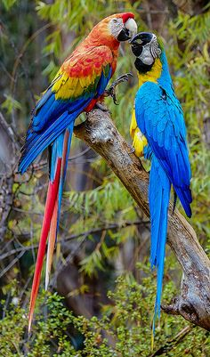 Macaws.