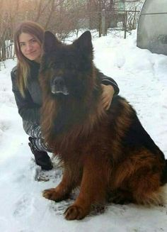 O.M.G Most beautiful gsd i ever c