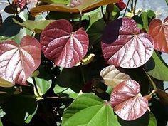 Hibiscus tiliaceus rubra - Scarce Seeds