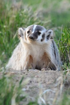 It took photographer James Beissel a year of tracking to land a photograph of this Colorado badger.