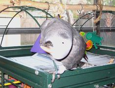 BODY LANGUAGE:: What Your African Grey Parrot is Trying to Tell You