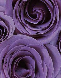 Ron van Dongen  Rosa 'Stella' (CSL 064) (2005)  Pigment Ink Print