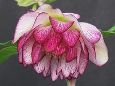 SHADE - Helleborus Peppermint Ruffles Winter Thriller™Very Rare - DOUBLE pink & white striped flowersAmericas #1  Deer Proof Shade PerennialVigorous new strain of 3 DOUBLE flowersTwice the flower power vs. single-blooming HelleboresBlooms for 3+ months in winter & spring