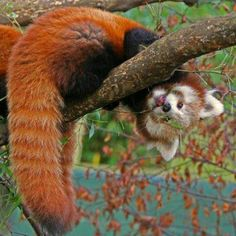 Red panda's are jerks: he will draw penises on your face with a sharpy.