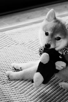 Japanese Shiba puppy