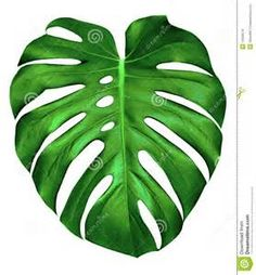 Monstera Leaf Related Keywords & Suggestions - Monstera Leaf Long Tail ... Tattoo 1
