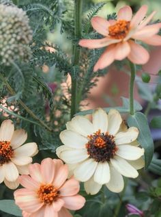 Peachy Zinnias, Amy Merrick