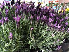 Spanish Lavender - 'Madrid Purple'