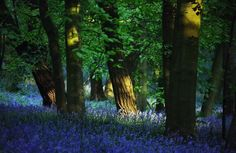 Breathtaking Photos of the Blue Forest in Belgium  http://www.mymodernmet.com/profiles/blogs/Kilian-Schonberger-blue-forest
