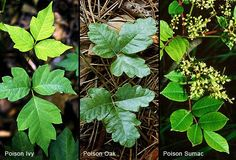Poision ivy, oak & sumac ~ studies have proven that there is no difference between the poison oak & ivy except the soil they are growing in - one is sandy/dry, the other is dark/moist. when transplanted to the opposite soil type, the plant quickly adjust & the shape of the leaves change as they acclimate to the new soil type. I spend a bit of energy learning as much as I can about them - remember, respect for all of Mother Nature's life forms is just plain smart...