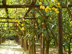 Lemon grove in Sorrento, Italy.   From ohsobeautifulpaper.com.