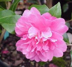 'Autumn Spirit' Camellia - cold hardy fall bloomer