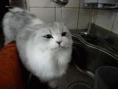 Cat drinks water