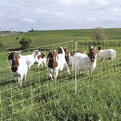 Shop a great selection of Premier 42 Electric Goat Net Fence Yellow - Roll. Find new offer and Similar products for Premier 42 Electric Goat Net Fence Yellow - Roll. Pig Fence, Goat Fence, Electric Poultry Netting, Types Of Poultry, Honey Extractor, Bee Hive Plans, Goat Care, Electric Sheep, Goat Farming