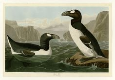 """An organization dedicated to the """"genetic rescue for endangered and extinct species"""" thinks it can bring the great auk back from the dead."""