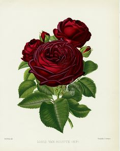 Rose Prints from William Paul, The Rose Garden 1888                                                                                                                                                                                 More