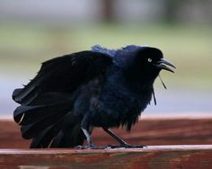 Great-tailed Grackle 204