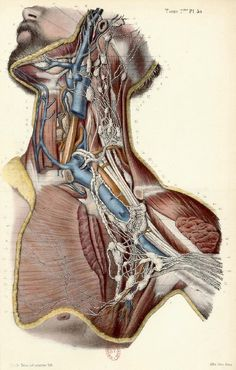 In this image, you will find the Human neck structure without labeled in it. Medical Posters, Medical Art, Medical Science, Human Anatomy Art, Body Anatomy, Anatomy Sketches, Anatomy Drawing, Neck Drawing, Anatomy Images