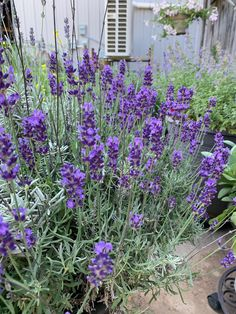 🌟Tante S!fr@ loves this📌🌟Hidcote English Lavender Lavender Garden, Lavender Flowers, Drought Resistant Plants, Purple Things, Fathers Love, Grasses, Live Life, Lisa, Around The Worlds