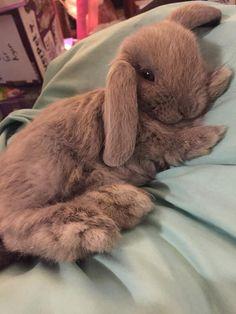 Eeez so flufffyy Cute Bunny Pictures, Cute Animal Pictures, Cute Little Animals, Cute Funny Animals, Cute Puppies, Cute Dogs, Cute Baby Bunnies, Mini Lop Bunnies, Mini Lop Rabbit