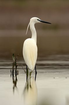 White Egret -May - Warren County, South River Floodplain Pretty Birds, Love Birds, Beautiful Birds, Animals Beautiful, Small Birds, Animals Amazing, Pretty Animals, White Egret, Photo Animaliere
