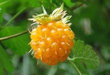 Rubus spectabilis (salmonberry)