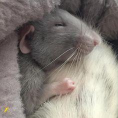 Cute rattie baby