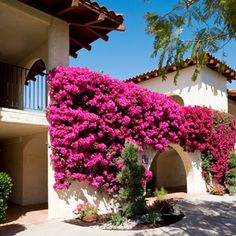 Indian Wells, California I wonder if I can plant this Bougainvillea in my yard.