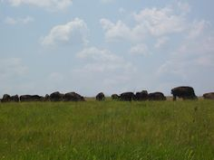 The Bison Herd At Prairie State Park