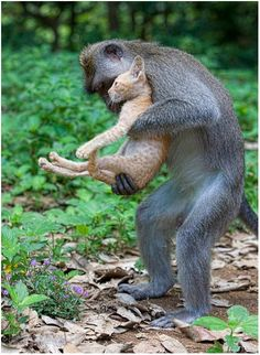 Fürsorglicher Affe.. A long tailed macaque monkey adopts a kitten in the forests of Bali, Indonesia - by Anne Young